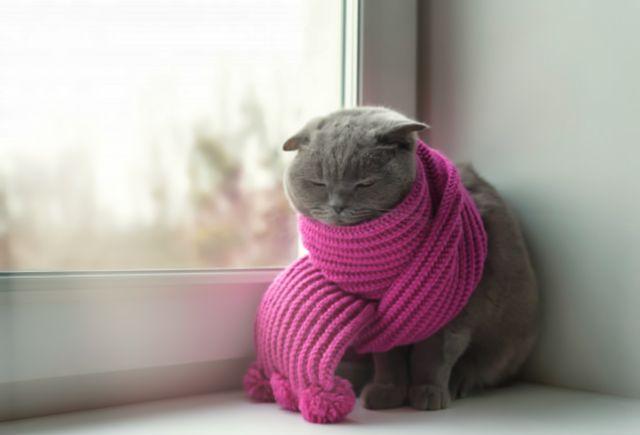 Кошка шотландской породы с шарфом на шее сидит у окна
